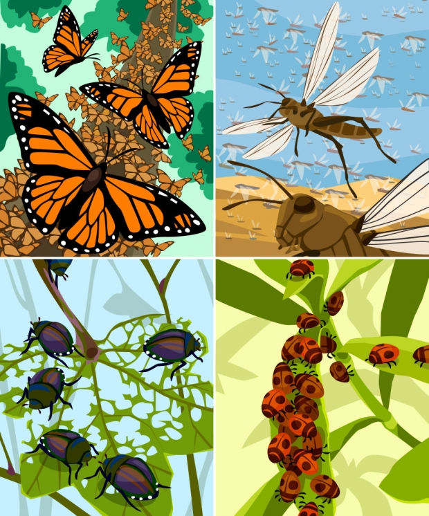 Four panel insect aggregation figure: (top left) monarch butterflies, (top right) locusts, (bottom left) Japanese beetles, (bottom right) ladybugs.