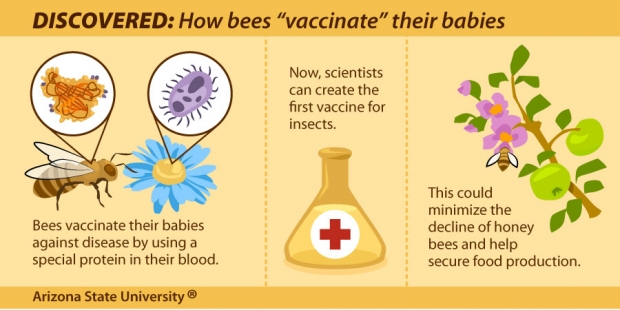 How Bees Vaccinate Their Babies (small version for social media)