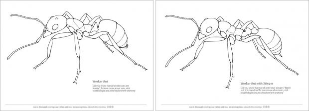 Ant coloring pages of worker ant with and without stinger.