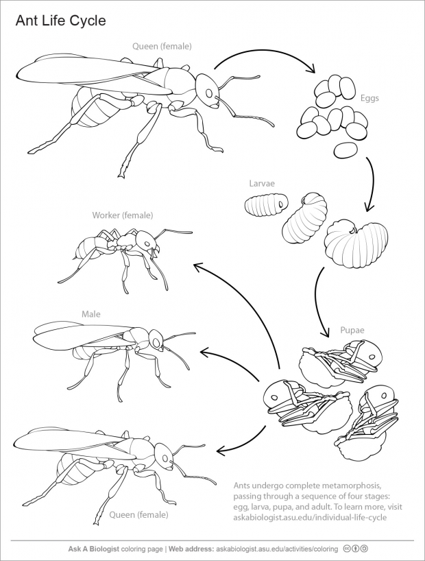 Ant life cycle handout.