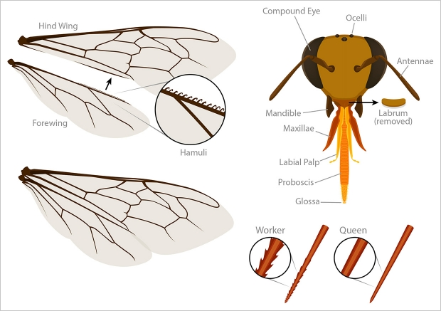 Worker bee wing, head, and sting anatomy