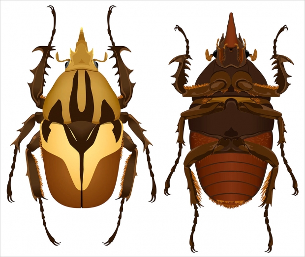 <em>Mecynnorrhina torquata</em> beetle, ventral and dorsal views.