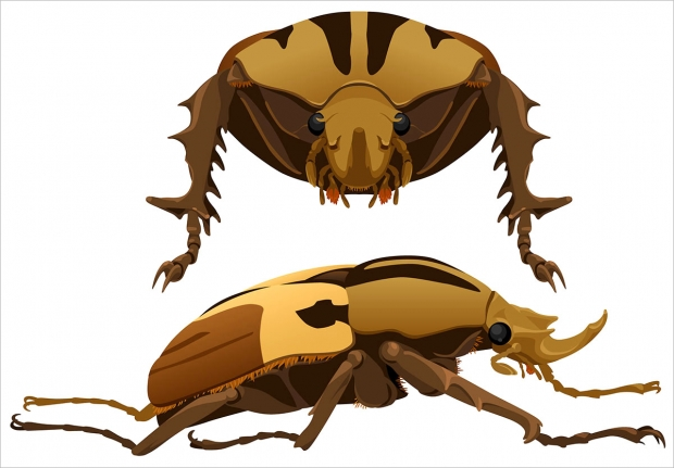 <em>Mecynnorrhina torquata</em> beetle, front and lateral views.