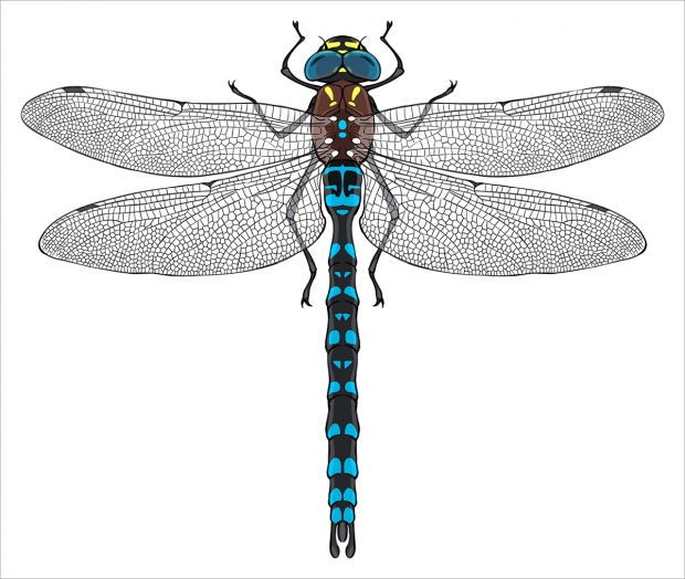 Color version of top view of a Paddle-tailed Darner.