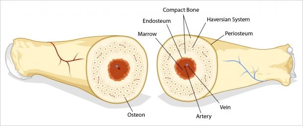 Anatomy of a longbone cut in half.