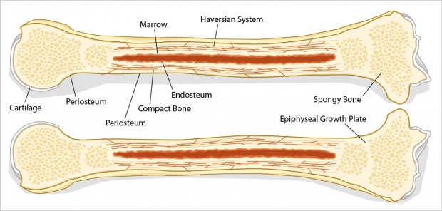 Anatomy of a longbone cut lengthwise.