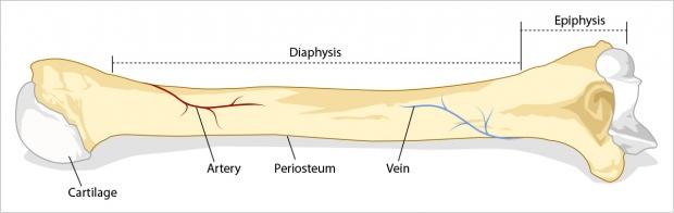 Longbone external anatomy.