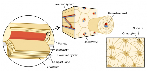 Layers of a bone and the anatomy of the haversian system.