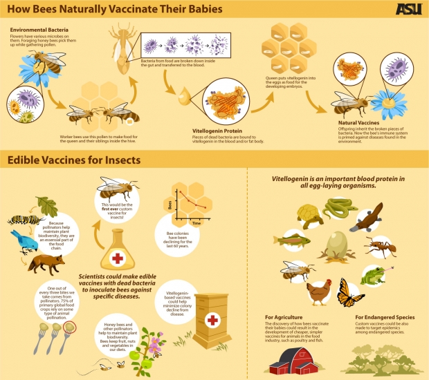 How Bees Naturally Vaccinate Their Babies Infographic