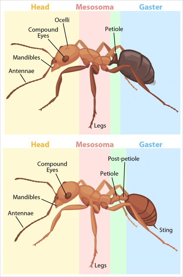 Two variations of ant anatomy.