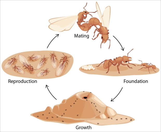 The life cycle of an ant colony.