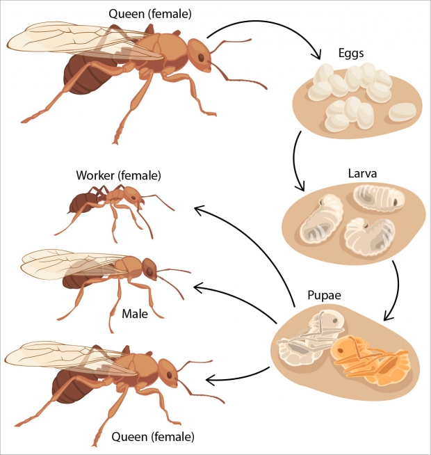 The life cycle of ants.