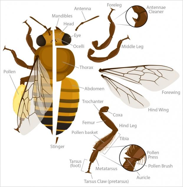 Worker bee anatomy