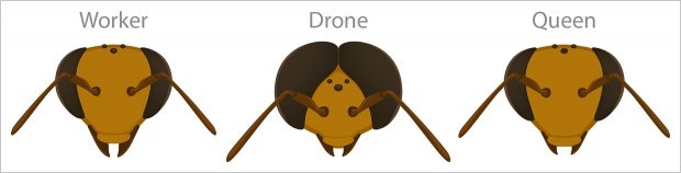 Worker, drone and queen bee caste heads compared