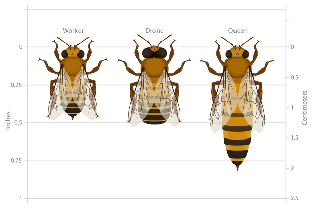Worker, drone and queen bee castes compared