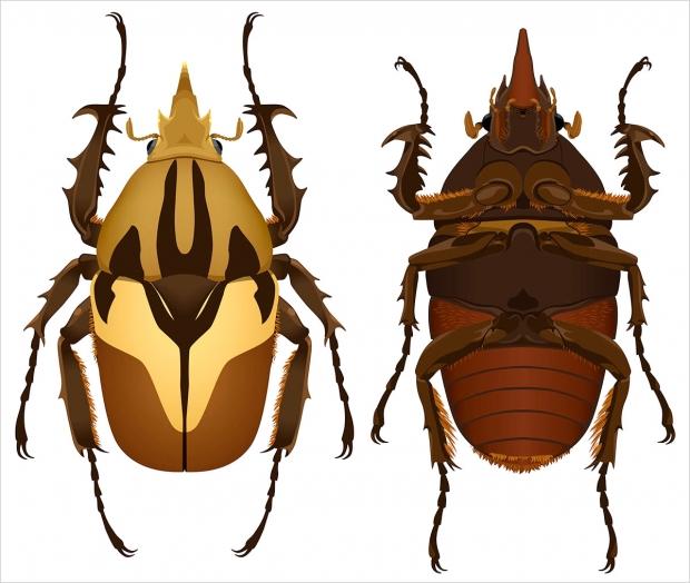<em>Mecynnorrhina torquata</em> beetle, ventral and dorsal views.