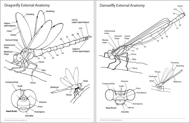 Dragonfly and damselfly external anatomy handout.