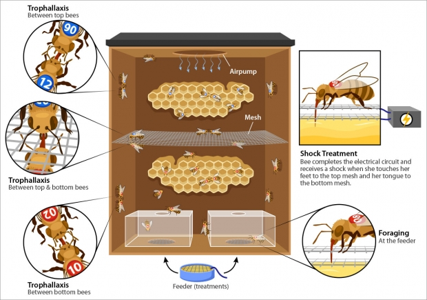 Second figure showing slightly different experimental design of Abby Finkelstein's research on bees.