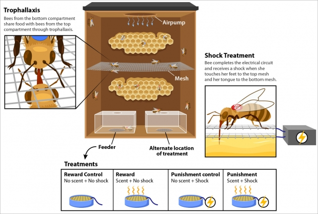 Experimental design of Abby Finkelstein's research on bees.