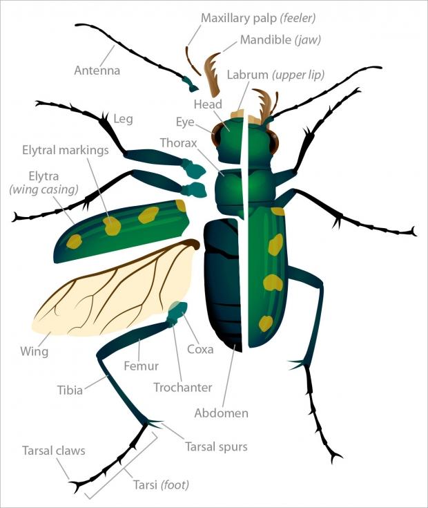 Tiger beetle anatomy illustration.